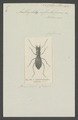 Amblychila - Print - Iconographia Zoologica - Special Collections University of Amsterdam - UBAINV0274 009 01 01 0013.tif
