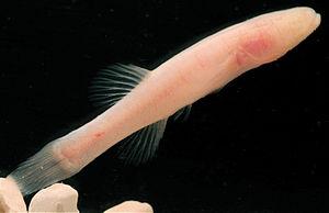 Amblyopsidae - Hoosier cavefish, Amblyopsis hoosieri