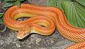 Amelanistic Stripe Corn Snake.jpg
