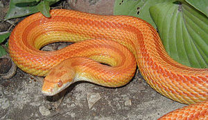English: Amelanistic Stripe Corn Snake