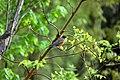 American robin on tree (Austin Drive Park).jpg