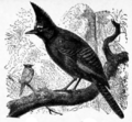 Americana 1920 Jays - Mexican Long-crested Jay.png