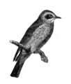 Americana 1920 Spotted Flycatcher.png