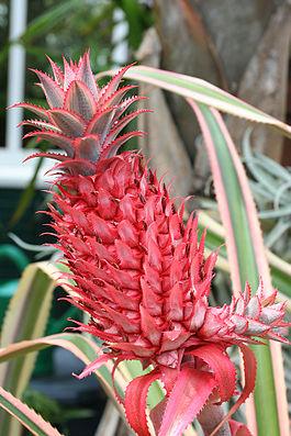 Ananas bracteatus var. tricolor