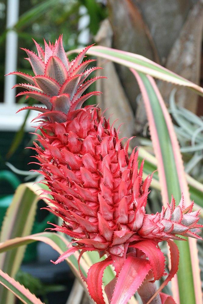 Ananas bracteatus var tricolor