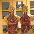 Anatomical Moulages (Torso).JPG