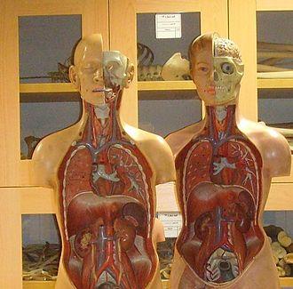 Moulage - Anatomical moulages (torso)