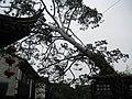 Ancient Pinus bungeana.jpg