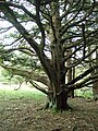 Ancient Yew - geograph.org.uk - 976217.jpg