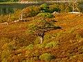 And Always Exotic Pines Again - panoramio.jpg