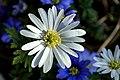 Anemona Blanda (16568499010).jpg