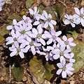 Anemone hepatica light purple.JPG