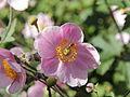Anemone hupehensis-IMG 5557.jpg