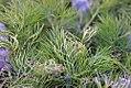 Anethum graveolens 2zz.jpg