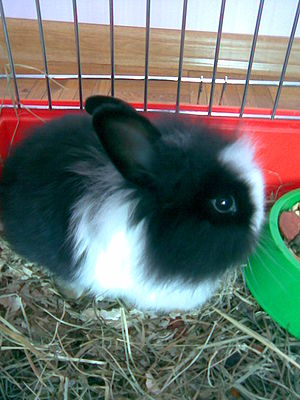 Angora rabbit - Black and white Angora rabbit in cage