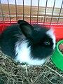 Angora rabbit.jpg