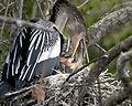 Anhinga feeding her young along the Anhinga Trail, Everglades National Park (9099299989).jpg