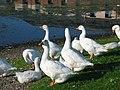 Annandale Water geese - geograph.org.uk - 924631.jpg