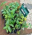 Annona reticulata 2.jpg