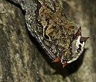 Anolis sagrei vs Gasteracantha cancriformis close.jpg