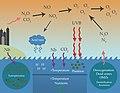 Anthropogenic effects on the marine nitrogen cycle.jpg