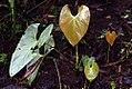 Anthurium andreanum 5zz.jpg