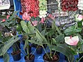 Anthurium displayed in shop from Lalbagh flower show Aug 2013 8644.JPG