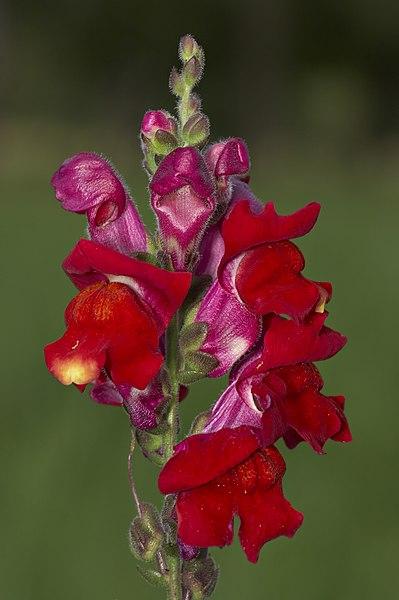 antirrhinum majus  garden snapdragon