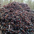 Ants ant mrówki las.jpg