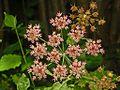 Apiaceae - Heracleum sphondylium-1.JPG