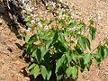 Apocynum androsaemifolium (3292182731).jpg