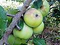 Apple (Malus domestica) (19719834878).jpg
