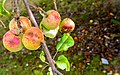Apples on an Apple Tree-147669.jpg