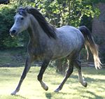 Arabian grey 505346884.jpg