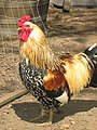 Aracona Rooster.jpg