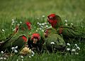 Aratinga erythrogenys -San Francisco -feral parrots eating apple-8.jpg