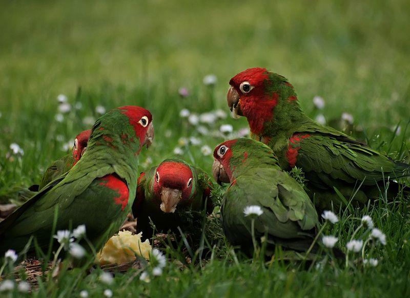 File:Aratinga erythrogenys -San Francisco -feral parrots eating apple-8.jpg