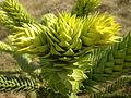 Araucaria araucana 1c.JPG