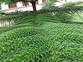 Araucaria columnaris branch, planted somewhere in India.jpg