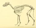 Archives du Museum d'histoire naturelle de Lyon (1872) Lévrier de l'Ancienne Égypte (Rôda).png
