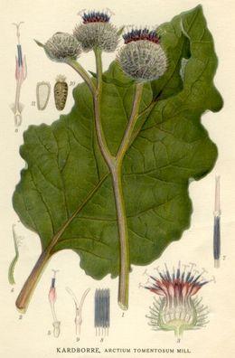 Arctium tomentosum