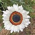 Arctotis fastuosa-IMG 3142.jpg
