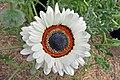 Arctotis fastuosa-IMG 6976.jpg