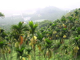 Areca catechu Forest.JPG
