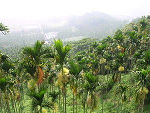 Areca catechu - Image: Areca catechu Forest