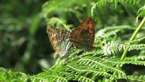 File:Argynnis paphia copula - 2012-08-01.webm