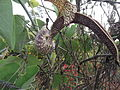 Aristolochia grandiflora-3-main road-yercaud-salem-India.JPG