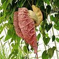 Aristolochia grandiflora-IMG 4614.jpg