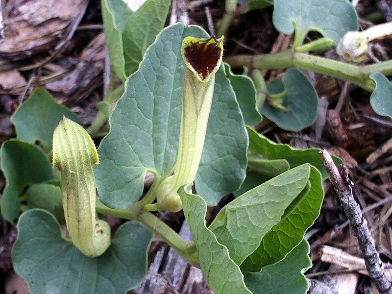 Tình yêu cây cỏ ĐV2 - Page 11 800px-Aristolochia_paucinervis_FlowersCloseup3_12April2009_DehesaBoyaldePuertollano