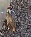 Arizona Woodpecker (33175820544).jpg